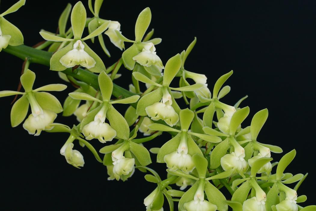 Hamlyn Orchids Ltd Encyclia Amp Epidendrum Species And
